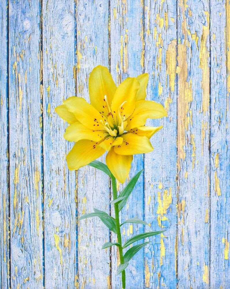 Blue and Yellow Wall Decor Luxury Blue Yellow Wall Art Print Lily Rustic Flower Home Decor Bedroom Bathroom